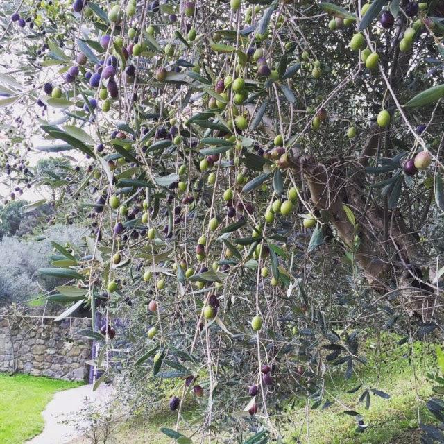 oliven_høst-2015