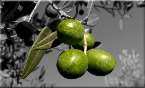 olivenolie_villa_stabbia_1